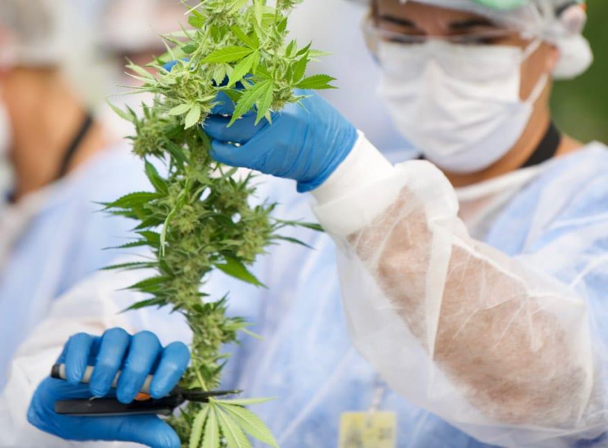 Primera exportación de marihuana medicinal uruguaya lista para despegar