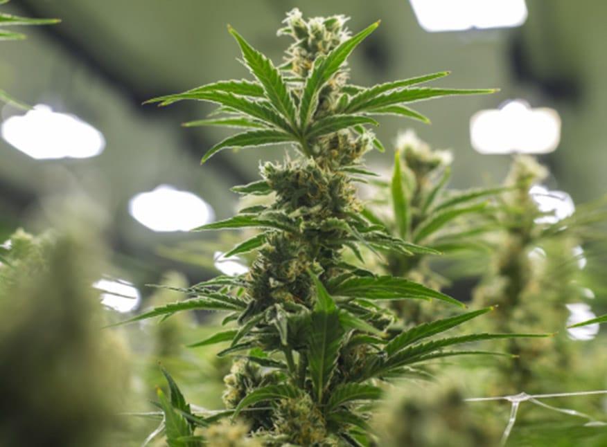 Fotmer Life Sciences consigue licencia para realizar extracto de cannabis medicinal