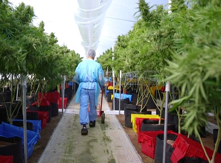 Cannabis medicinal: Empresa uruguaya exportó 10 kilos hacia Australia *
