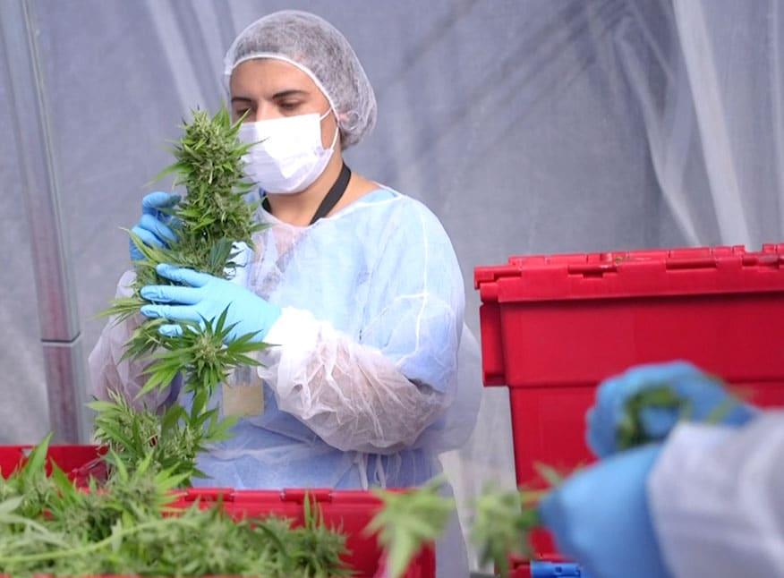 La empresa Fotmer Life concretó la primera exportación de Cannabis Medicinal*