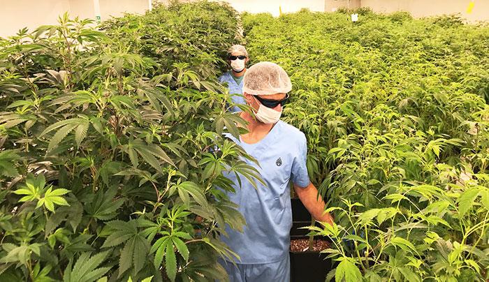 Uruguay realiza primera exportación de cannabis