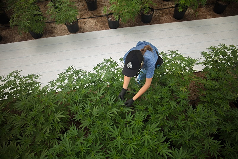 Uruguay Cannabis Firm Seeks Up to $30 Million as Capital Returns